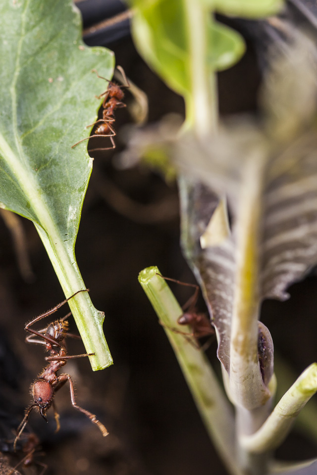 Leafcutter ants at work.  Photo by Scott David Gordon