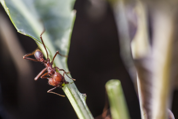 The damage-inflicting leafcutter ant.  Photo by Scott David Gordon