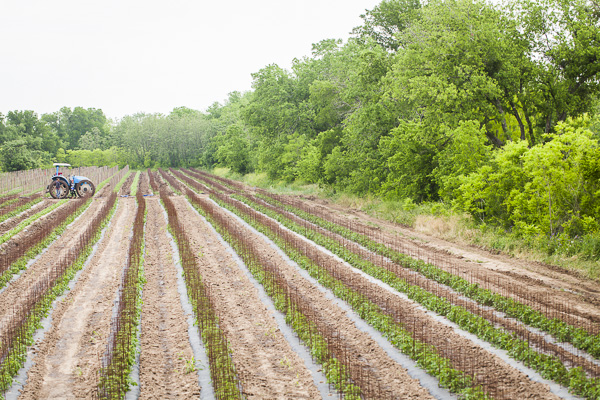 Rows of tomato cages.  Photo by Scott David Gordon
