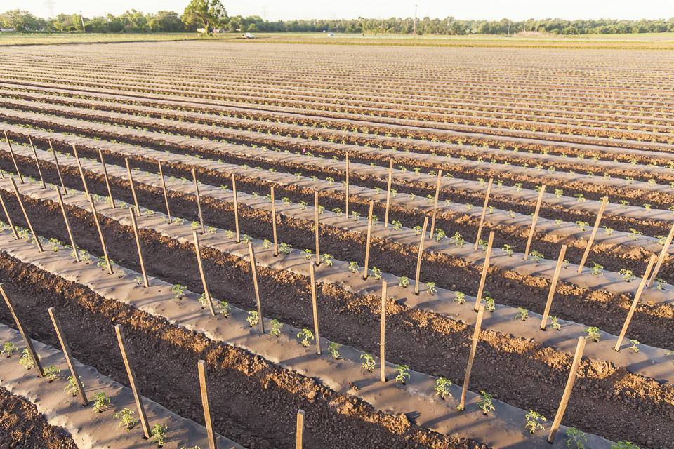 Tomato fields forever x 2. Photo by Scott David Gordon.