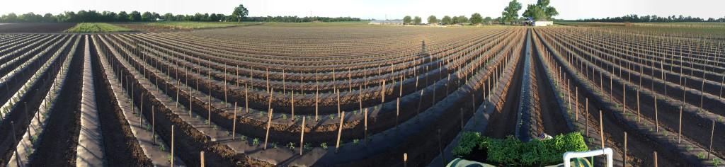 Tomato field panorama. Photo by Scott David Gordon.